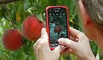 Sherry Chase of Mills Apple Farms takes photos with her smartphone of large Harmony variety peaches.