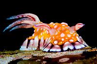 chromodoris roboi nudibranch, Goniobranchus roboi sea slug, Anilao, Batangas, Philippines, Pacific Ocean
