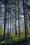 Trees in the wood looking towards the alps. Imst district, Tyrol, Tirol, Austria.