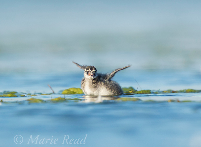 Eared Grebe (Podiceps nigricollis), chick on water, flapping its wings, Bowdoin National Wildlife Refuge, Montana, USA