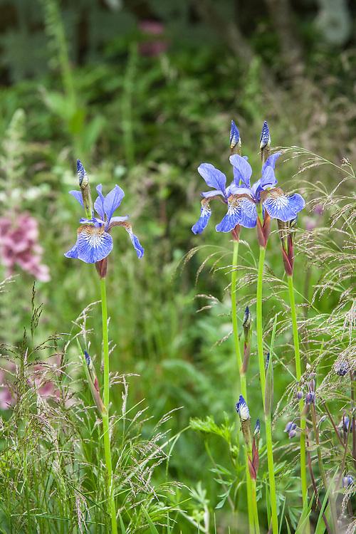 Blue irises planted amongst tufted hair grass (Deschampsia cespitosa). The Massachusetts Garden, designed by Catherine Macdonald and Susannah Hunter, RHS Chelsea Flower Show 2013.
