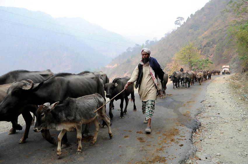 Alfa keeps the herd moving on the road toward Uttarkashi.