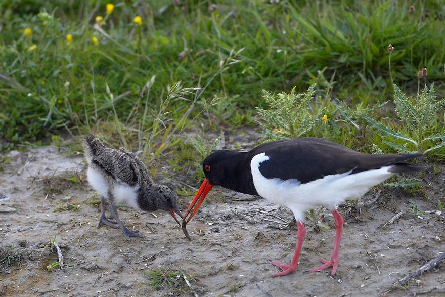 Oystercatcher (Haematopus ostralegus) Texel, The Netherlands