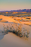 Desert plant in sand dunes at sunrise, North Algodones Dunes Wilderness, Imperial County, California