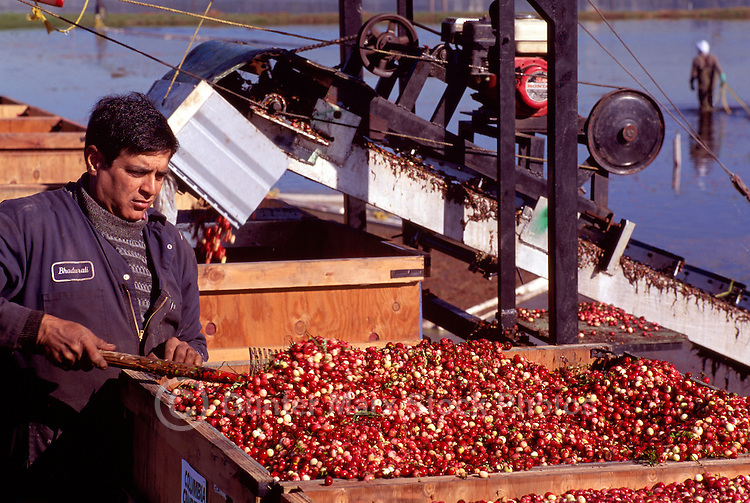 Richmond, BC, British Columbia, Canada - Agricultural Worker harvesting Cranberries (Vaccinium macrocarpon) from Flooded Bog Field, to Conveyor Belt to Crates, on Cranberry Farm