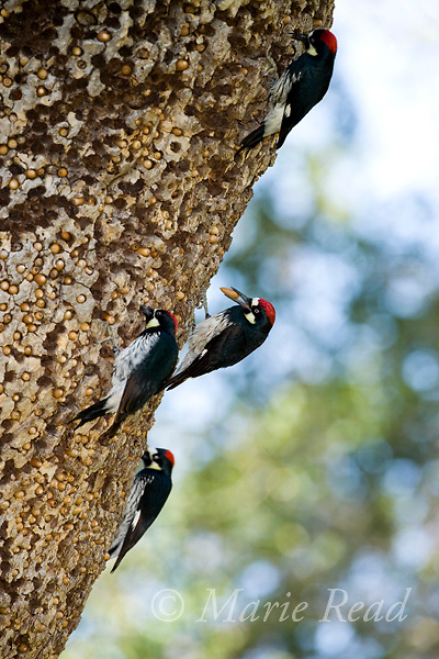 Acorn Woodpeckers (Melanerpes formicivorus) at their granary tree showing numerous stored acorns, Orange County, California, USA.