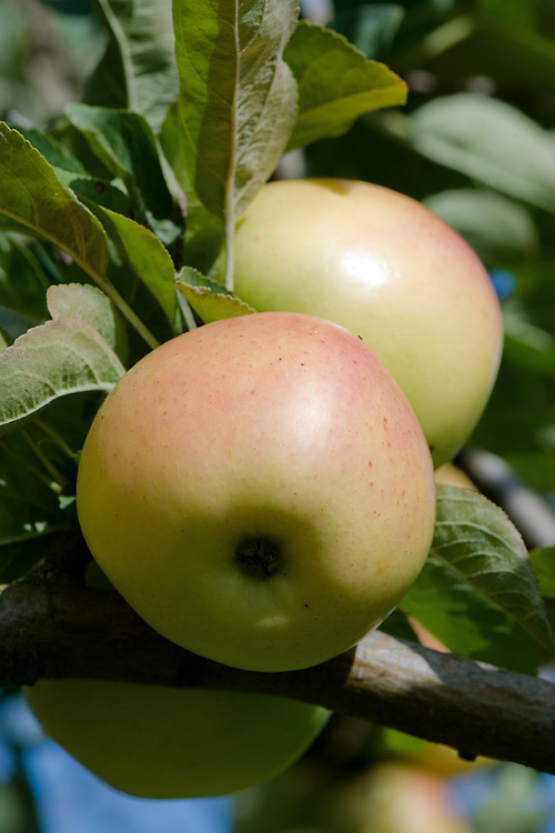Apple 'Winter Banana', late September. An American dessert apple discovered in 1876 on a farm at Adamsboro, Cass County, Indiana. It is said to have an aromatic flavour similar to bananas.