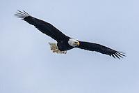 American Bald Eagle photograph Alaska