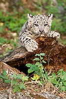 Snow Leopard kitten clinging to an old log - CA