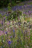 Saxifraga oregana, Oregon Saxifrage (aka Micranthes arnoglossa, Bog Saxifrage) in flowering wildflower meadow - Camassia Nature Preserve, The Nature Conservancy protected park, Portland Oregon
