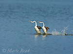 """Clark's Grebes (Aechmophorus clarkii), two performing """"rushing"""" display in which they run across water's surface together, California, USA"""
