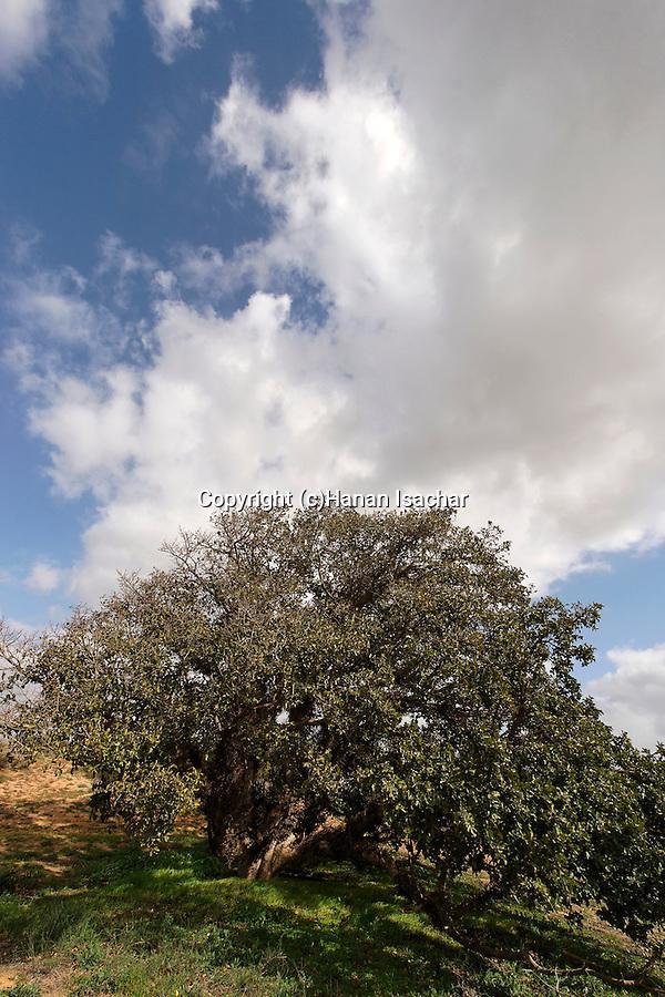 Israel, Southern Coastal Plain. Sycamore tree in Ashdod dunes