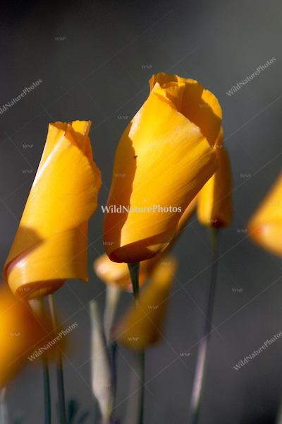 Mexican Gold Poppy, Eschscholzia mexicana