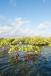 Gardens of the Queen, Cuba; colonies of red mangroves reflecting in the shallow water between islands in the Gardens of the Queen