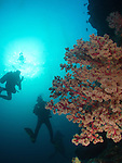 Apo Reef, Sulu Sea -- Soft coral fan and divers on an underwater sea wall.