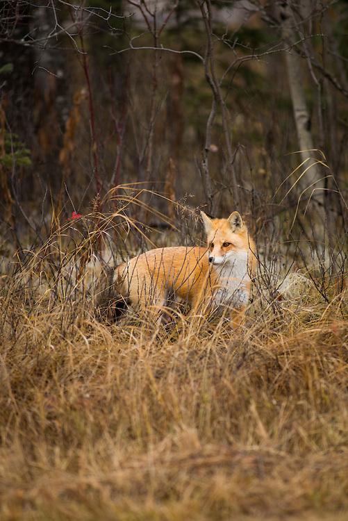 Red Fox hunting, Manitoba Canada.