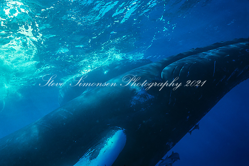 Humpback Whale<br /> Cow and Calf<br /> US Virgin Islands