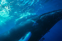 Humpback Whale<br />