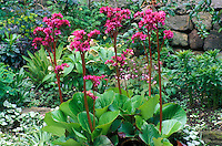 Bergenia Bressingham Ruby in bloom
