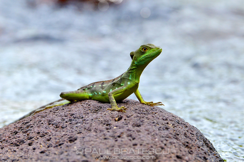 Green-plumed Basilisk (Basiliscus plumenfrons)Young male