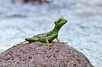 Green-plumed Basilisk (Basiliscus plumenfrons)Young male