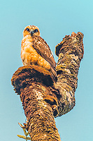 A rare Hawaiian hawk (or 'io), Hilo, Big Island of Hawai'i.