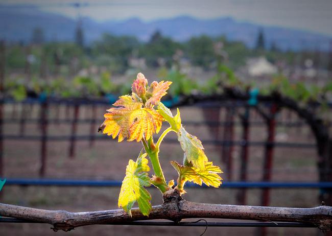 Spring budbreak on cabernet vine in Napa Valley