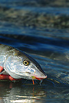 BONEFISH ON A CRAB FLY