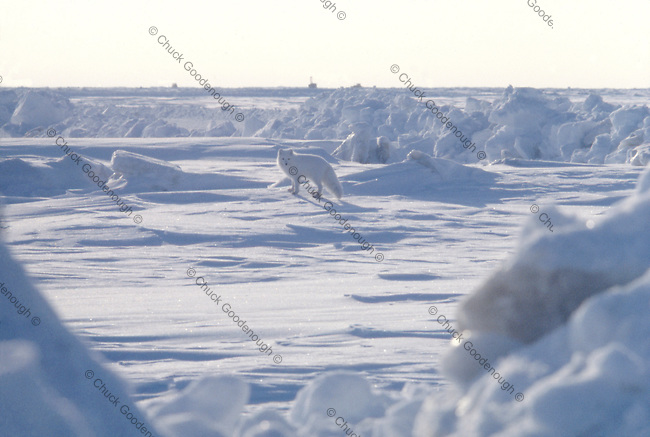 Photo of an Arctic Fox near some Oil Rigs out on Beaufort Sea Ice in Alaska