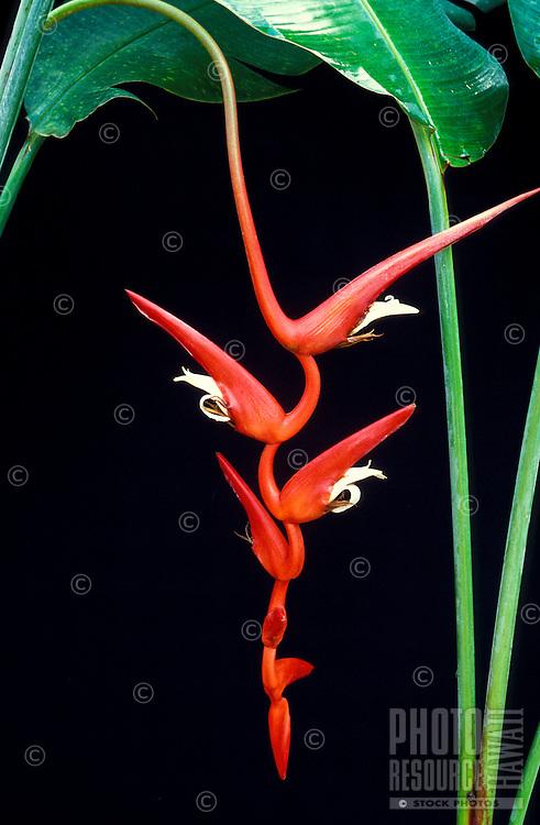Sinuous red bract of Heliconia pendula cv. Roseo-pendula