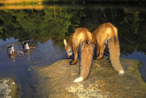 Two Ducks doing water ballet while two red foxes watch