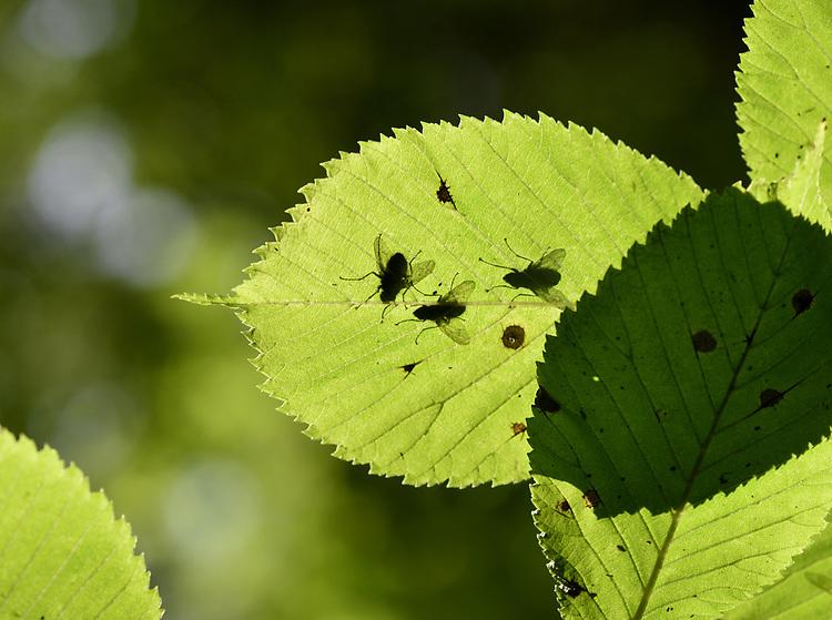 Wych Elm - Ulmus glabra