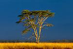 Acacia, savanna landscape, Masai Mara National Reserve, Kenya