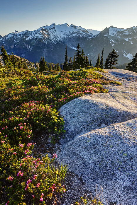 Pink mountain heather in subalpine meadow, Mount Daniel in background, Wenatchee Mountains, central Washington Cascade Mountains