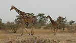 Kouré (Koure)-Niger, March 25, 2012 -- Two of the last giraffes in West Africa - a population of about 400 lives in last self-sustaining families in a protected area / parc near Kouré, in southwest Niger -- Photo © HorstWagner.eu