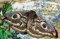 Kleines Nachtpfauenauge, Weibchen, Saturnia pavonia, Eudia pavonia, Pavonia pavonia, Small Emperor Moth, female, Le Petit paon de nuit, Saturniidae