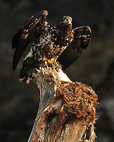 Young Bald Eagle takes off from driftwood at Third Beach, Olympic National Park, Washington.