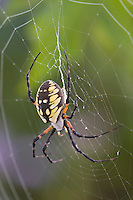 Yellow Garden Spider (Argiope aurantia), adult in web, Lillington, North Carolina, USA