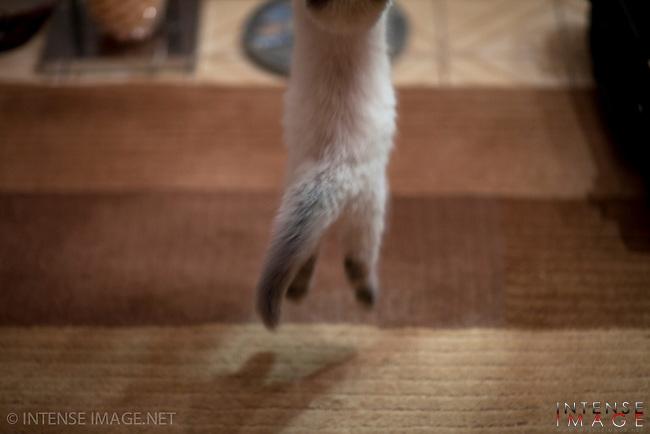 Cat, kitten, ragdoll, rag doll, rag-doll,