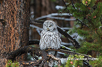 01128-00204 Great Gray Owl (Strix nebulosa) Yellowstone National Park, WY
