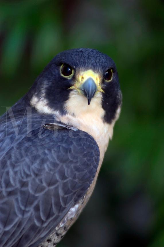 A Peale's Peregrine Falcon (Falco peregrinus peale) at rest