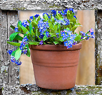 Forget Me Not Pot