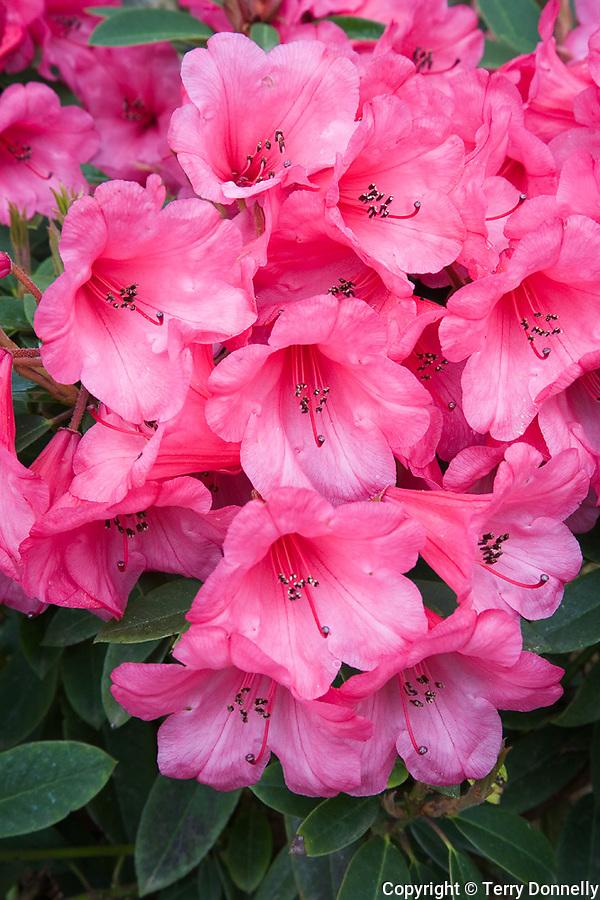 Vashon, WA<br /> Rhododendron 'Kimbeth' , blossom detail