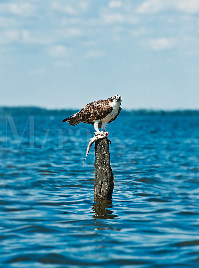 Osprey with fish catch, Pandion haliaetus