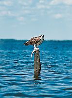 Osprey with fish catch, Pandion haliaetus