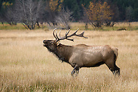 Bull Elk, Rocky Mountain National Park