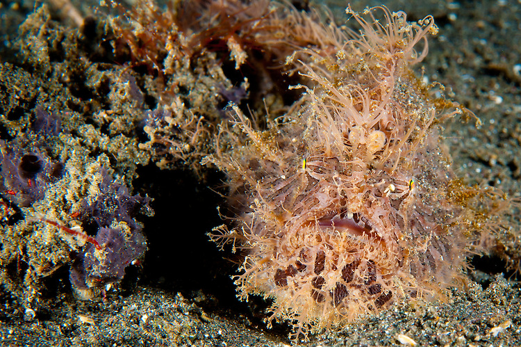 Striated frogfish: Antennarius striatus, red and pink in colour with large appendages, Lembeh Strait