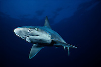 This image of a sandbar shark, Carcharhinus plumbeus, appeared on the cover of LIFE magazine.  It is the only underwater photograph to ever be on the cover.