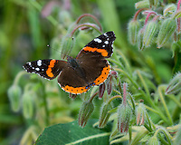 Red Admiral butterfly (Vanessa atalanta) in flower garden.  Oregon.  July.