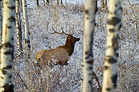 Bull elk slips through thick brush and aspen on a cold autumn day.  Wasatch Mountains, Utah.